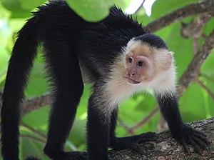 White-headed capuchin - Walking on four limbs