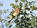 Cedar waxwing on Seedskadee National Wildlife Refuge (35394882104).jpg