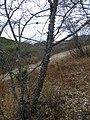 Ceiba parviflora (5742030665).jpg