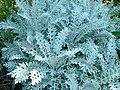 Centaurea cineraria, Manie van der Schijff BT.jpg