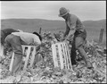Centerville, California. Packing cauliflower on a ranch near Centerville, California, on April 9, 1 . . . - NARA - 536027.tif