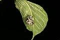 Cepaea hortensis (36337667312).jpg