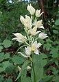 Cephalanthera damasonium kz01.jpg