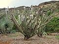 Cephalocereus palmeri - Koko Crater Botanical Garden - IMG 2195.JPG