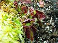 Cephalotus follicularis 28012007.jpg