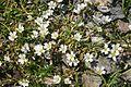 Cerastium cerastoides (Dreigriffel-Hornkraut) IMG 9094.jpg