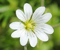 Cerastium furcatum var. ibukiense (flower).JPG