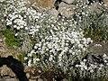 Cerastium tomentosum 5.jpg