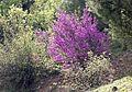 Cercis siliquastrum - Erguvan 05.jpg