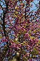 Cercis siliquastrum Judas tree flowering branches at Myddelton House, Enfield, London.jpg