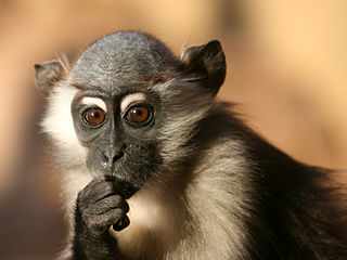 Mangabey index of animals with the same common name