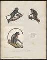 Cercopithecus nictitans - 1700-1880 - Print - Iconographia Zoologica - Special Collections University of Amsterdam - UBA01 IZ19900123.tif