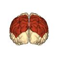 Cerebrum - parietal lobe - posterior view.png
