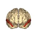 Cerebrum - superior temporal gyrus - anterior.png