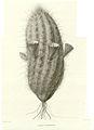 Cereus chloranthus00.jpg