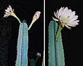 Cereus hexagonus, Lady of the Night Cactus (9319858533).jpg