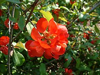 Chaenomeles japonica RB