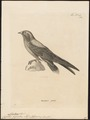Chaetura gigantea - 1700-1880 - Print - Iconographia Zoologica - Special Collections University of Amsterdam - UBA01 IZ16700123.tif