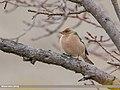 Chaffinch (Fringilla coelebs) (49081899473).jpg