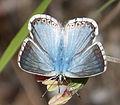 Chalkhill Blue. Lysandra coridon... (16028037839).jpg