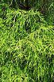 Chamaecyparis pisifera Filifera Aurea kz1.jpg
