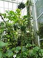 Chamaedorea metallica - Palmengarten Frankfurt - DSC01858.JPG