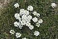 Chamois cress Pritzelago alpina (4825114327).jpg