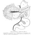 ChannaChavariaDigestiveTract.png