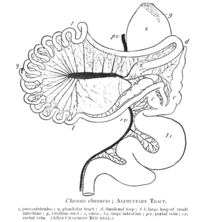 English: Digestive tract of Chauna chavaria