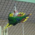 Charmosyna placentis -aviary-8a-4c.jpg
