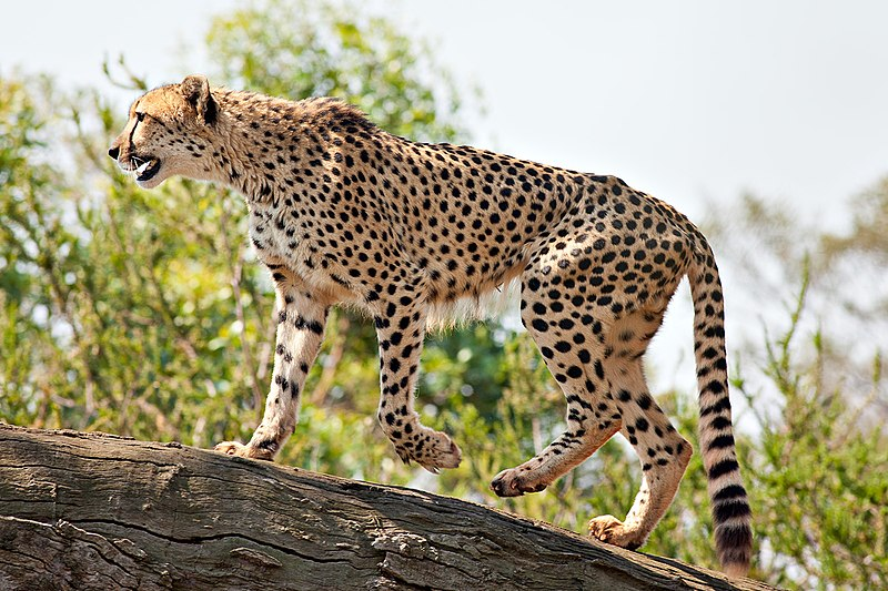 File:Cheetah Feb09 02.jpg