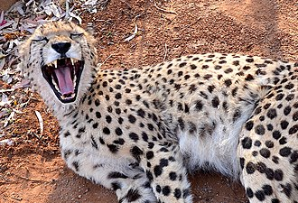Cheetah - Teeth of Cheetah