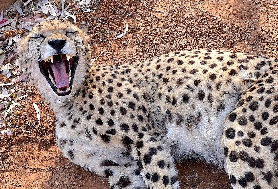 Cheetah on a Farm in Namibia