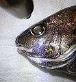 Cheilotrema saturnum eyeshine.jpg