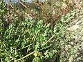Chenopodium vulvaria sl104.jpg