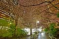 Cherry Blossoms @ Burrard Station (25239166499).jpg