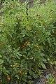 Cherry Tomatoes (1077068258).jpg