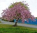 Cherry blossom @ Cleckheaton (7165902972).jpg