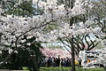 Cherry blossoms - Flickr - Al Jazeera English (2).jpg