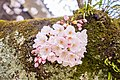 Cherry blossoms at Matsuyama Castle, Ehime Prefecture; April 2017 (18).jpg