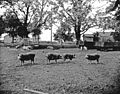 Chester White pigs in barn lot (6360176559).jpg