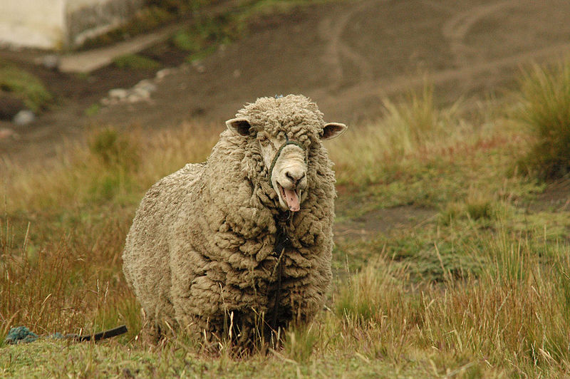 File:Chimborazo sheep.jpg