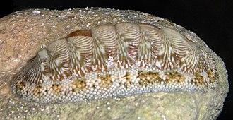 Chiton tuberculatus - Chiton tuberculatus