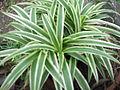 Chlorophyttum comosum variegatum-yercaud-salem-India.JPG