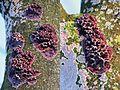 Chondrostereum purpureum syn. Stereum purpureum (GB=Purple silverleaf, D= Violetter Knorpelschichtpilz, NL= Paarse korstzwam) white spores and causes Silver leaf disease (loodglansziekte). It is not only a crust mushroo - panoramio.jpg