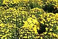 Chrysanthemum Gold Finch 3zz.jpg