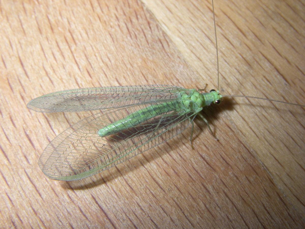 Bộ sưu tập côn trùng 2 - Page 24 1200px-Chrysopidae_2007070903