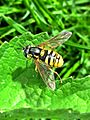 Chrysotoxum cautum (Syrphidae sp.), Arnhem, the Netherlands.jpg