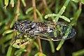 Cicada orni, Vic-la-Gardiole 02.jpg