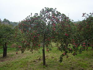 Cider Orchard. cider apple tree just before ha...
